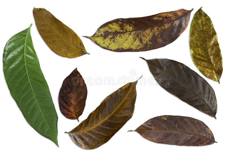 Modello delle foglie fresche e delle foglie secche immagine stock libera da diritti