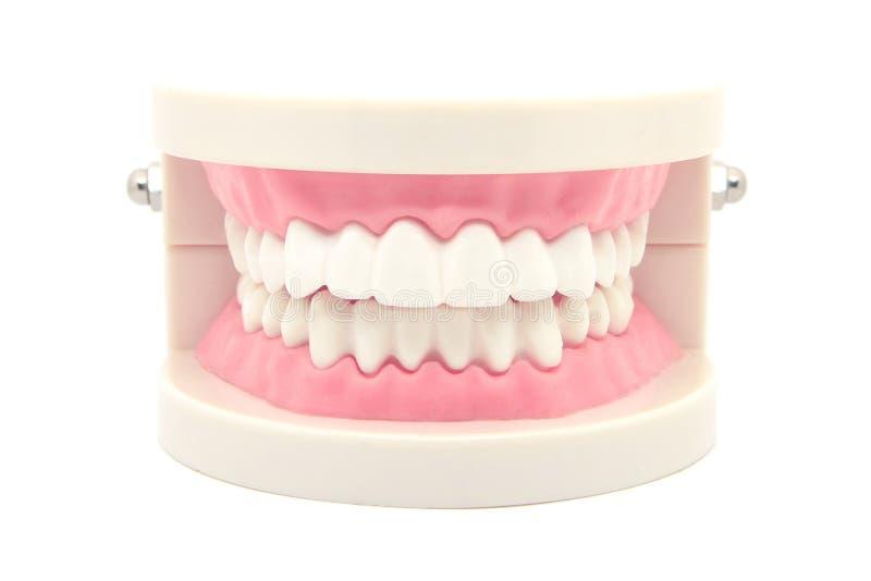 modello dentario dei denti isolato su bianco immagine stock libera da diritti