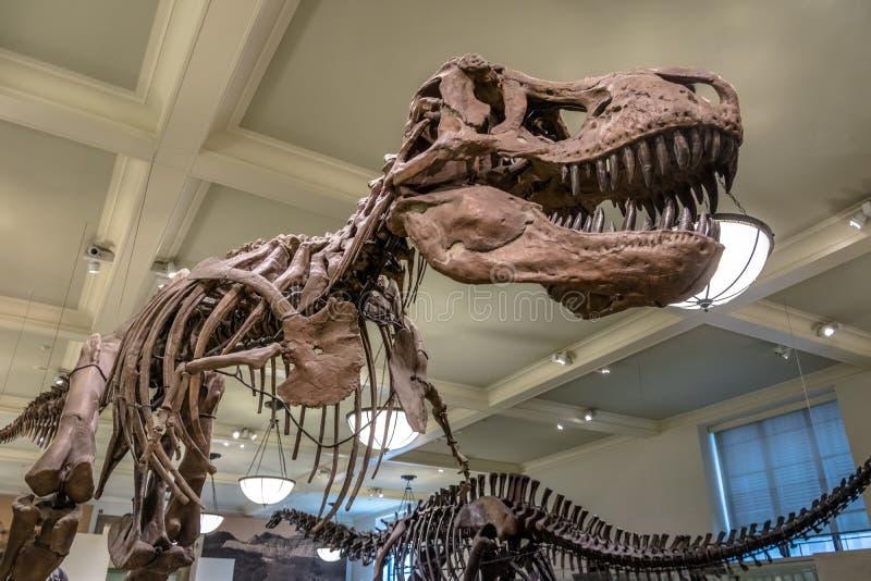 Modello di Dinossaur Fossile al museo americano di storia naturale AMNH - New York, U.S.A. immagini stock libere da diritti