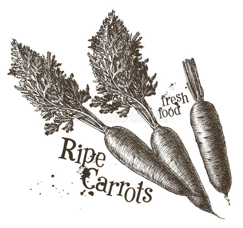 Modello di progettazione di logo di vettore delle carote fresco illustrazione di stock