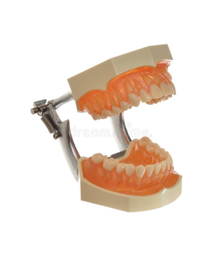 Modello di studio dei denti e delle gomme isolati su bianco immagini stock libere da diritti