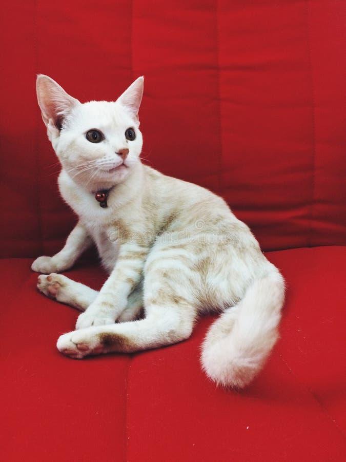 Modello eccellente del gatto fotografia stock libera da diritti
