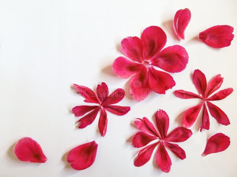 Modello floreale astratto dei petali rosa della peonia isolati su fondo bianco Petali rossi presentati sotto forma dei fiori, cre fotografia stock