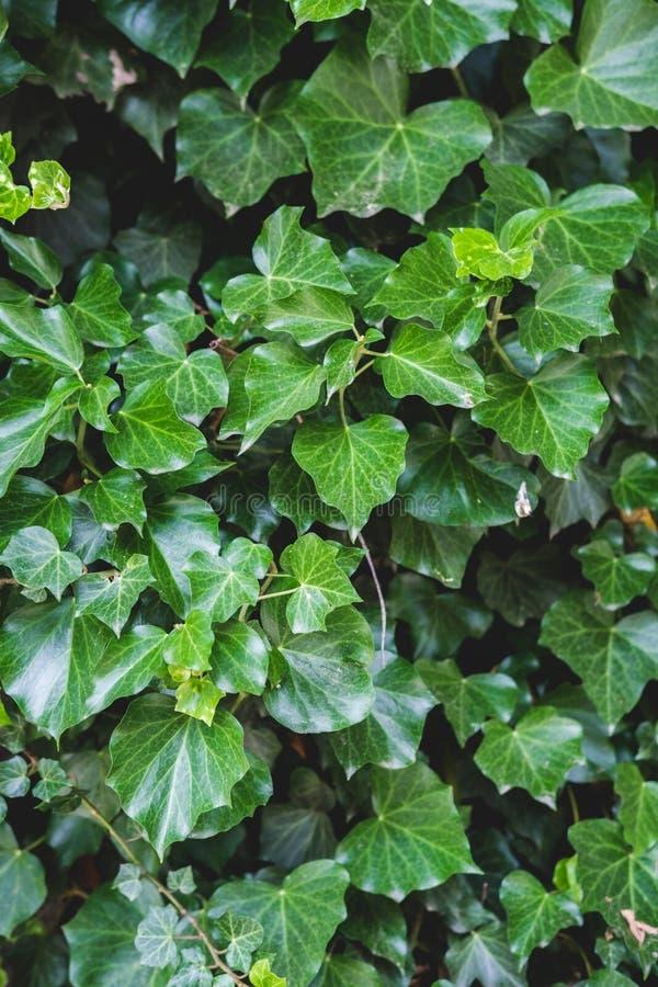 Modello floreale verde delle foglie Sfondo naturale da sopra Vista superiore fotografia stock libera da diritti