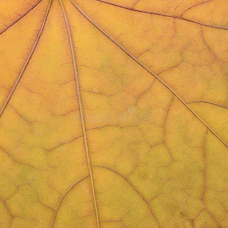 Modello giallo dorato caduto di struttura della foglia di acero, caduta di autunno fotografie stock libere da diritti