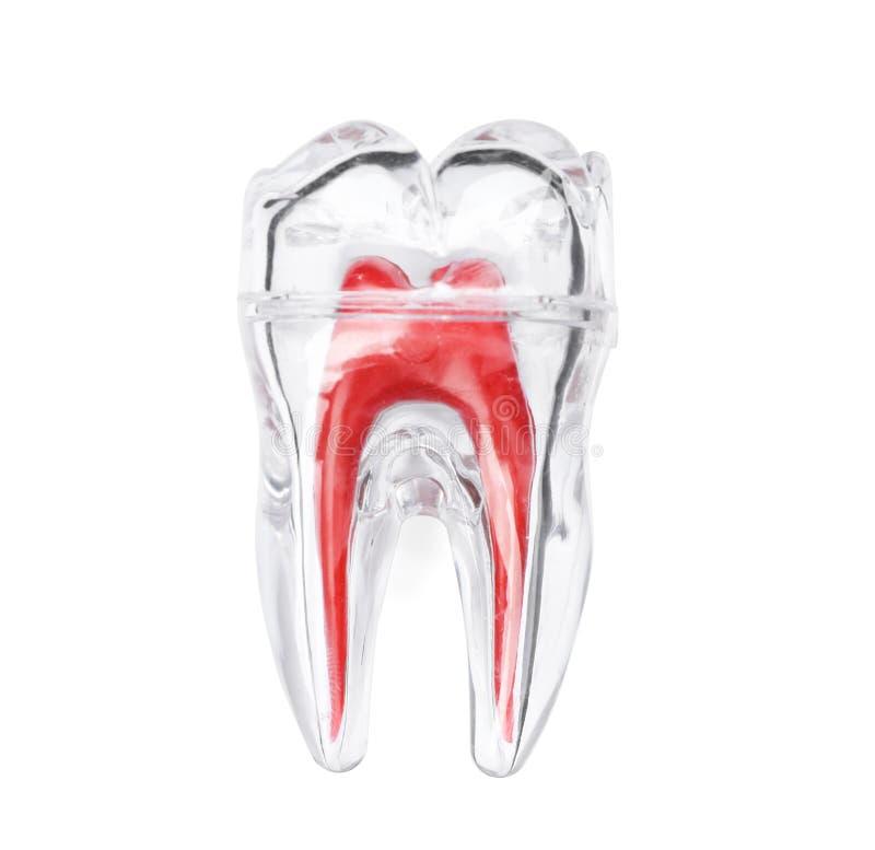 Modello molare di plastica del dente immagini stock