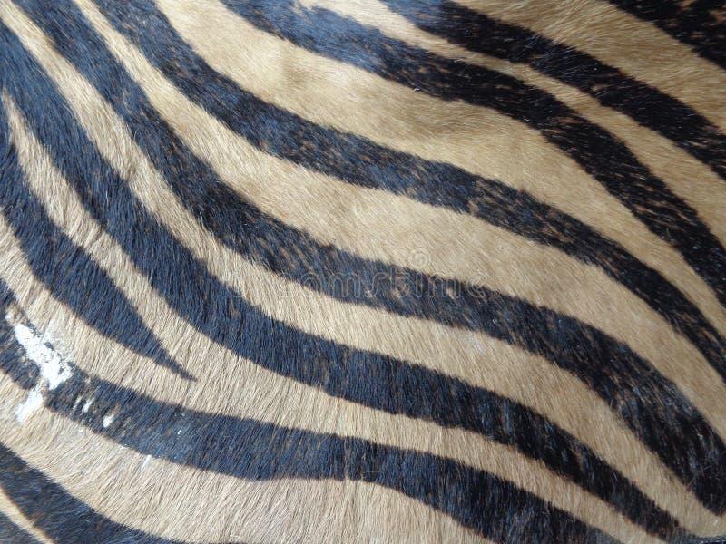 Modello normale della pelle della zebra fotografie stock libere da diritti