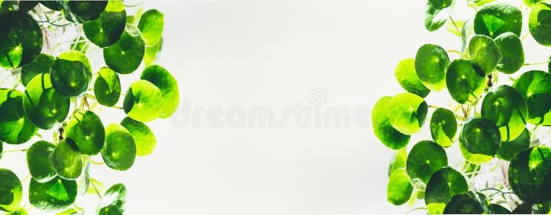 Modello o insegna con le foglie rotonde verdi del cerchio della pianta cinese del missionario della pianta di soldi su fondo legg immagini stock libere da diritti