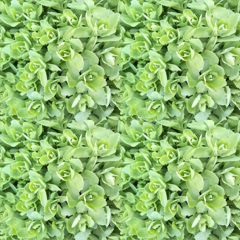 Modello senza cuciture della foglia decorativa del cavolo Rosette verde chiaro delle foglie fotografia stock