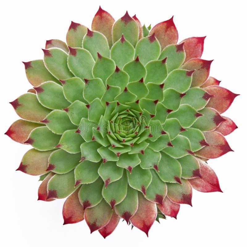 Modello succulente