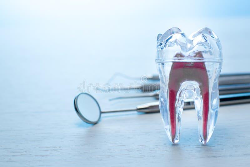 Modello trasparente del dente del dentista per gli studenti di medicina con la sonda dentaria, lo specchio e due esploratori Igie immagini stock libere da diritti