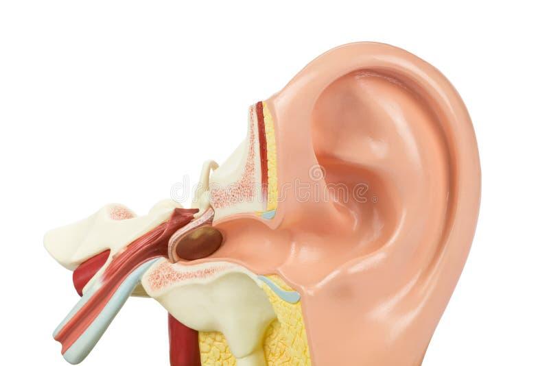 Modello umano artificiale dell'orecchio isolato su fondo bianco immagini stock libere da diritti