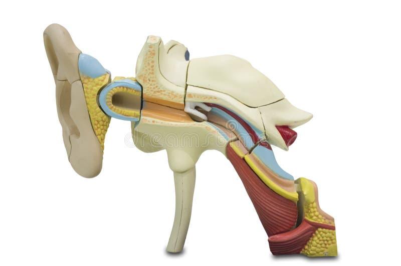 Modello umano artificiale dell'orecchio immagini stock libere da diritti
