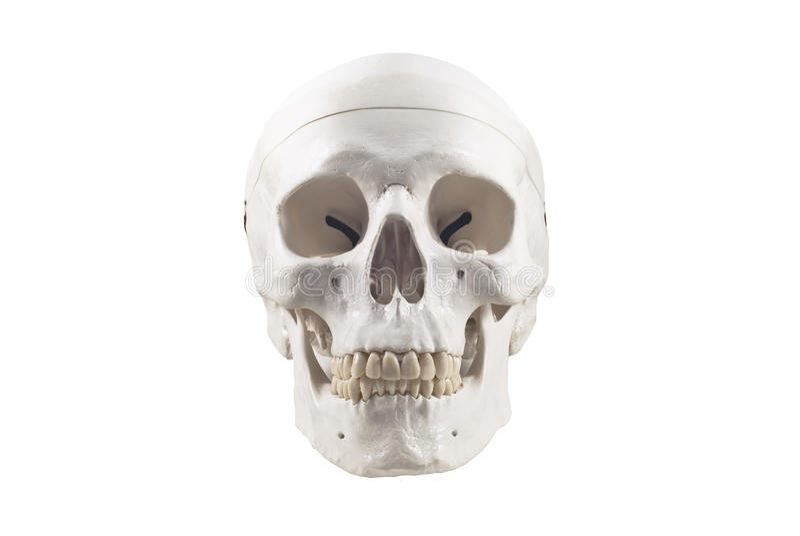 Modello umano del cranio, isolato fotografie stock