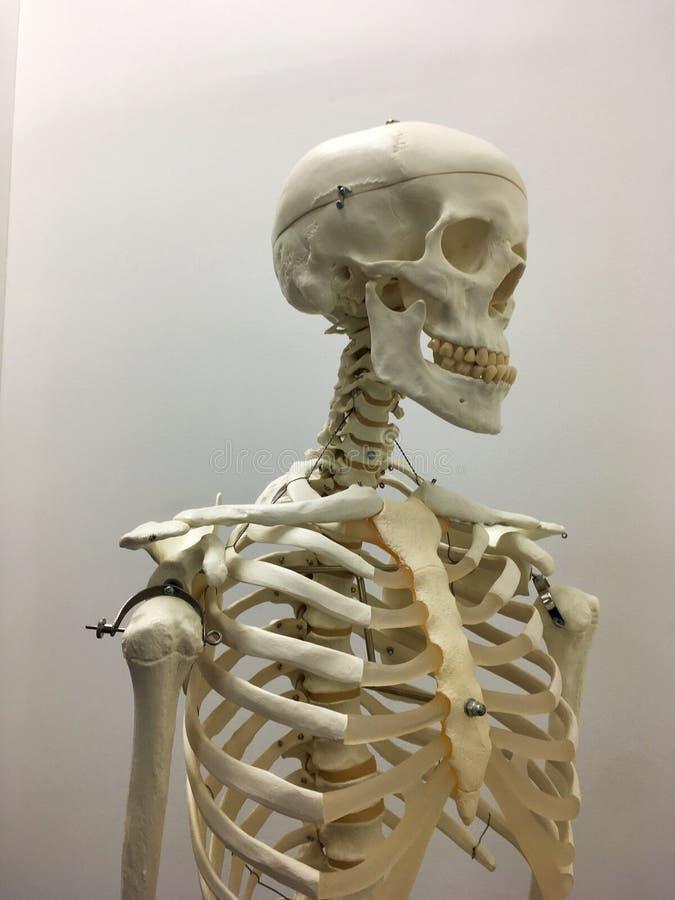 modello umano dell'osso fotografie stock