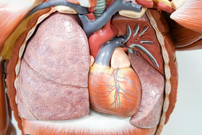 Modello umano di anatomia fotografia stock