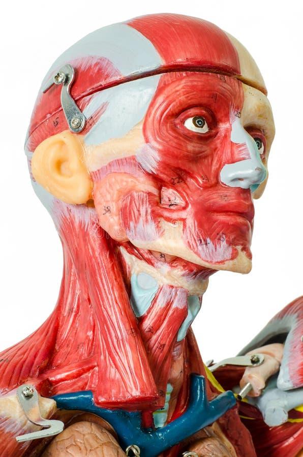 Modello umano di anatomia del muscolo fotografia stock libera da diritti