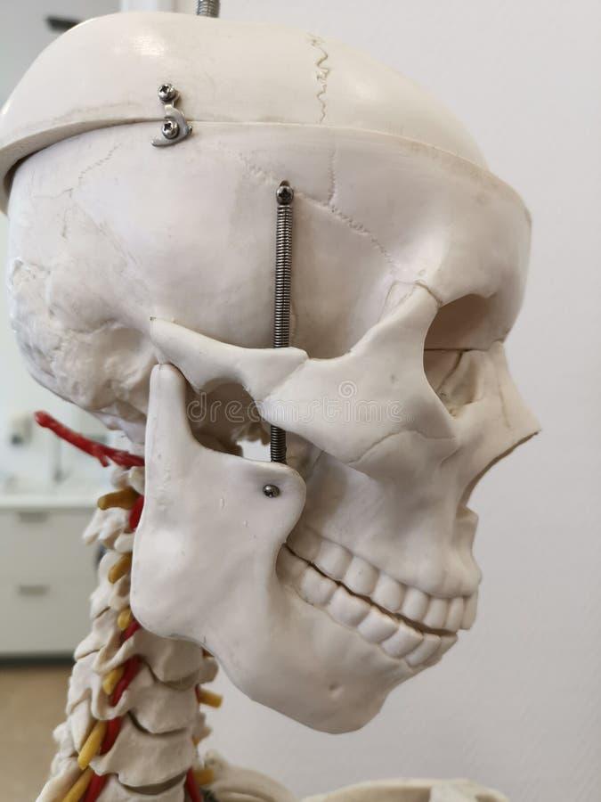 Modello umano medico del cranio bianco fotografia stock