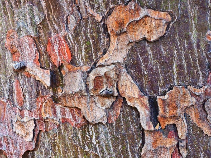 Modelo abstracto de la corteza, árbol nativo australiano foto de archivo