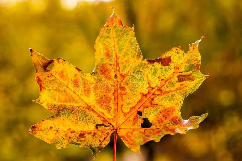 Modelo abstracto de la hoja del otoño Visión macra Color amarillo y verde Textura del árbol de la hoja Modelo natural ¡Foco suave foto de archivo