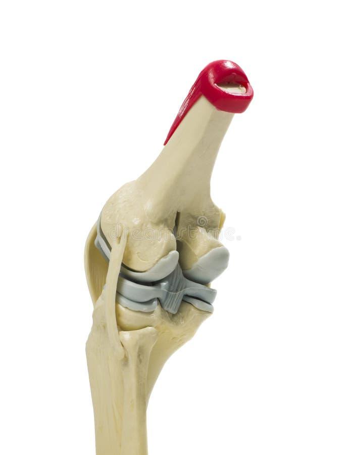 Modelo anatômico de um joelho imagens de stock royalty free
