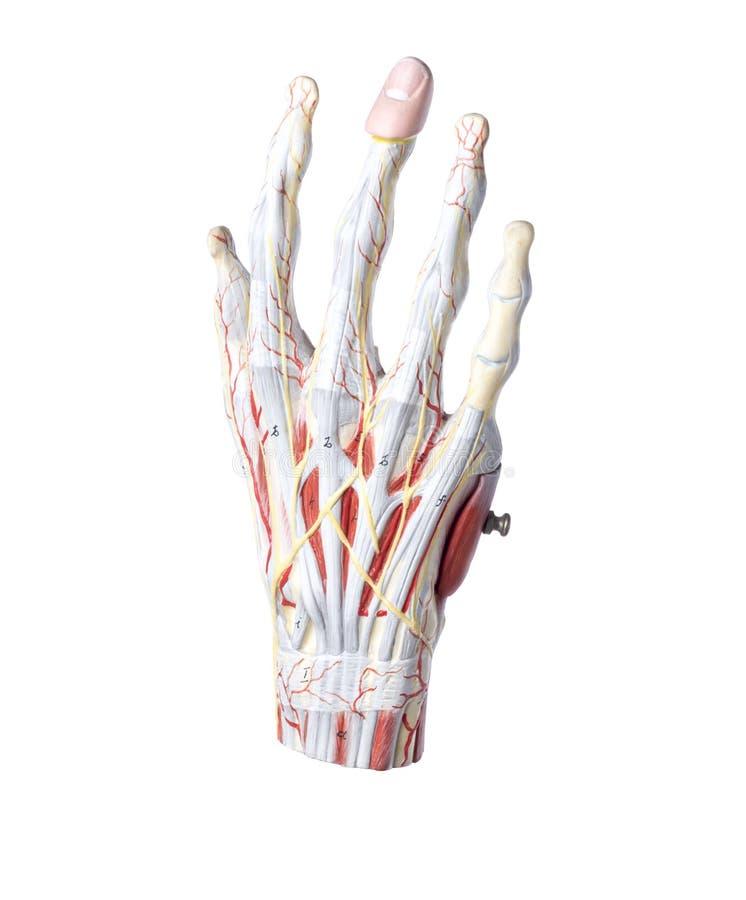 Modelo anatômico isolado de uma mão humana fotos de stock royalty free