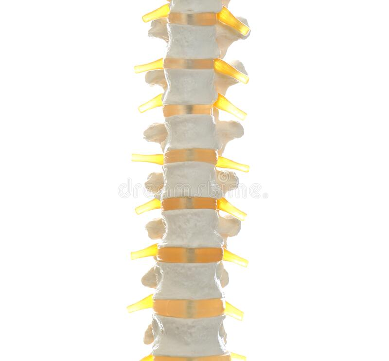 Modelo artificial de coluna humana isolado em branco, em close imagem de stock royalty free