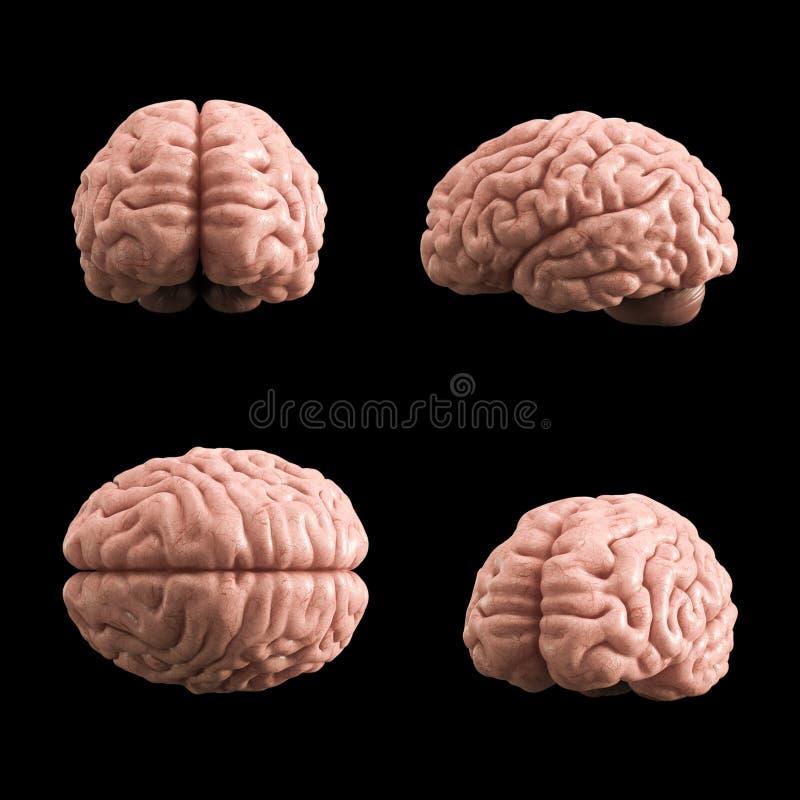 Modelo artificial del cerebro humano, representación 3d libre illustration