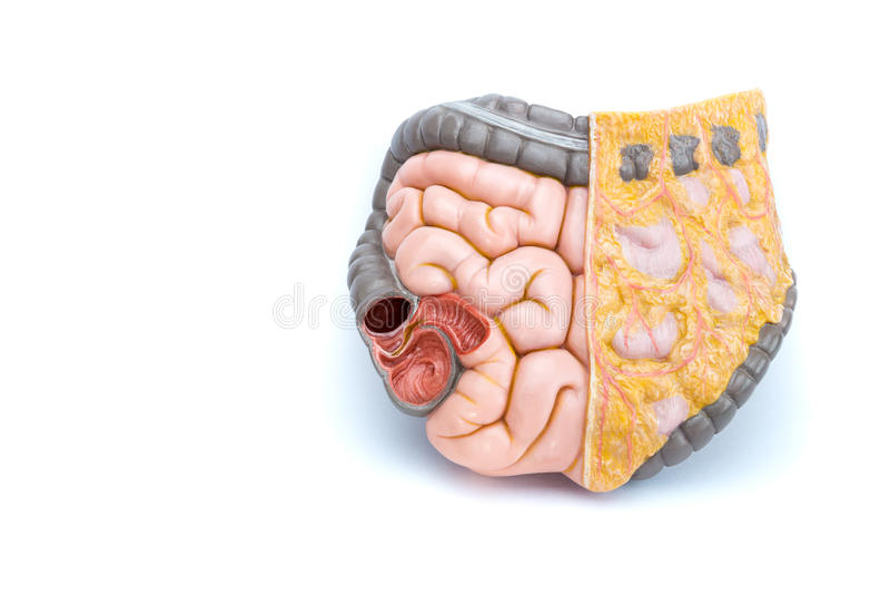Modelo artificial dos intestinos humanos foto de stock royalty free