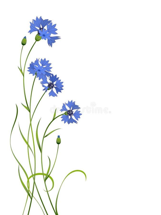 Modelo azul del ramo del cornflower aislado libre illustration