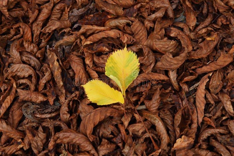 Modelo colorido del otoño de hojas caidas con la hoja amarilla en el centro fotos de archivo libres de regalías