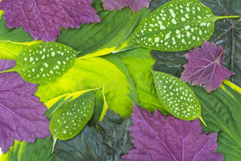 Modelo criativo das folhas verdes e roxas de plantas de jardim, concentradas imagens de stock
