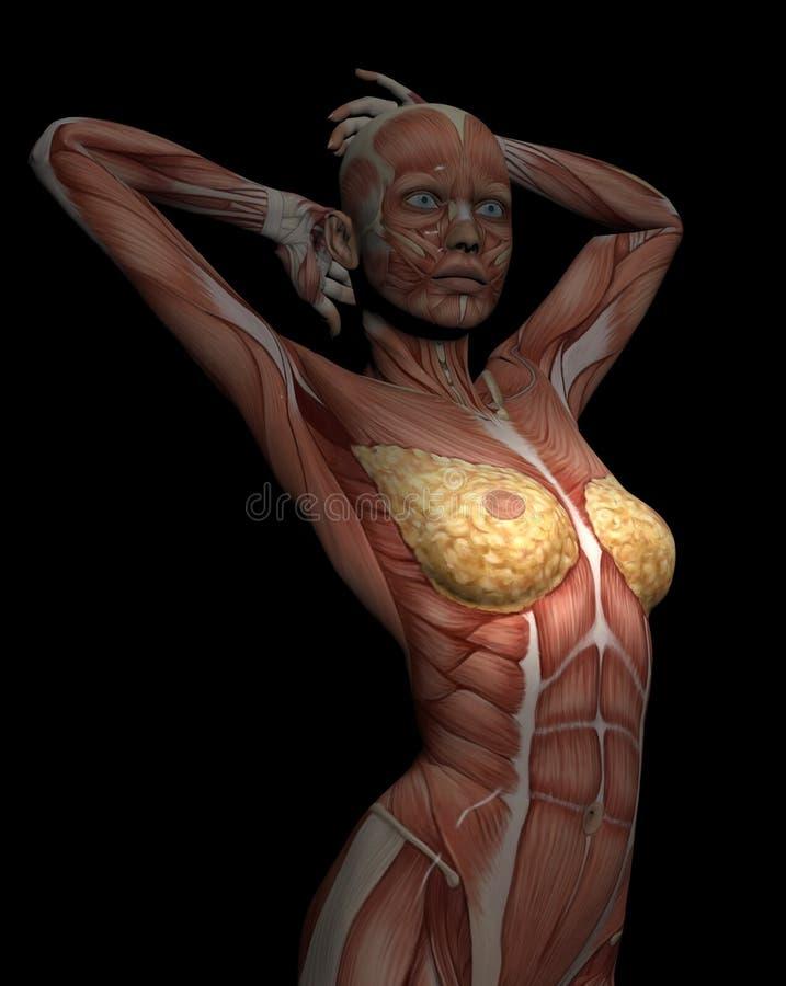modelo 3D dos músculos do torso fêmea para o estudo, com o peito nas FO ilustração royalty free