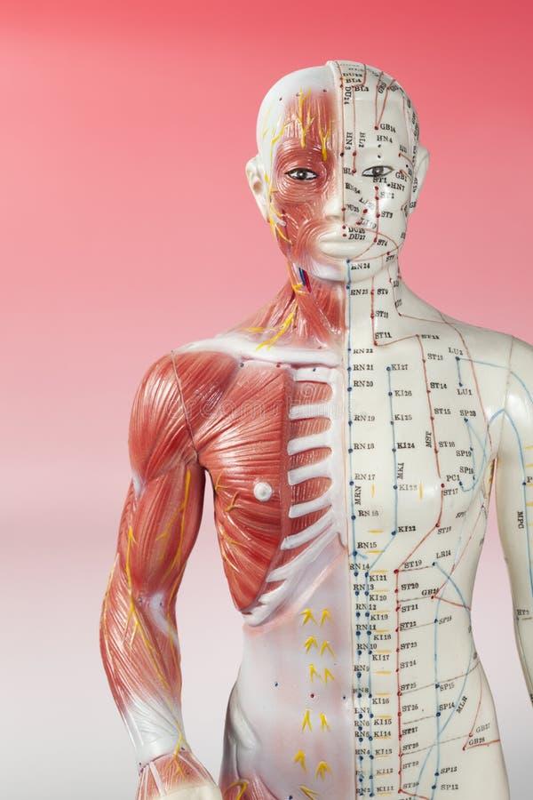 Modelo da acupuntura fotos de stock royalty free