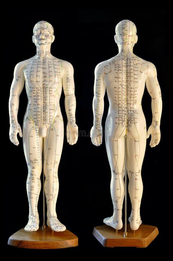 Modelo de la acupuntura fotos de archivo
