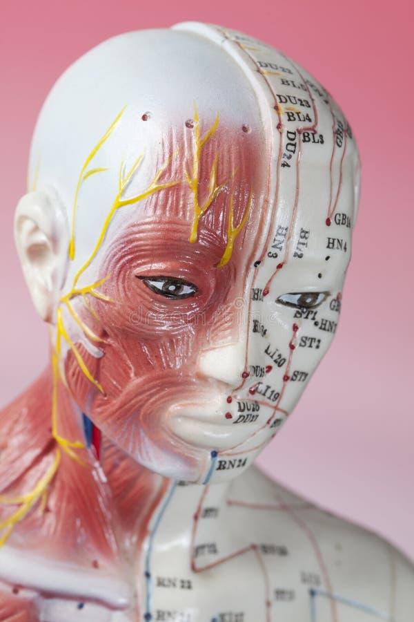 Modelo de la acupuntura fotos de archivo libres de regalías