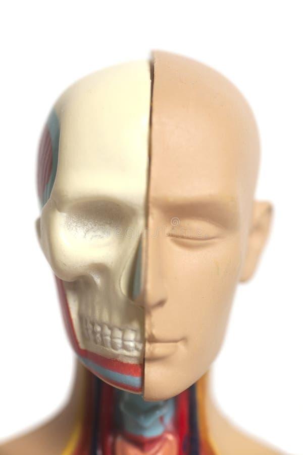 Modelo De La Anatomía De La Cabeza Humana Foto de archivo - Imagen ...