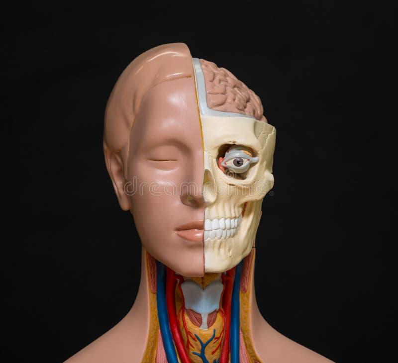 Modelo de la anatomía de la cabeza humana fotos de archivo