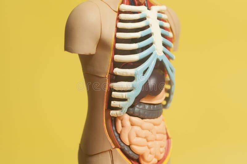 Modelo De La Anatomía Del Cuerpo Humano Imagen de archivo - Imagen ...