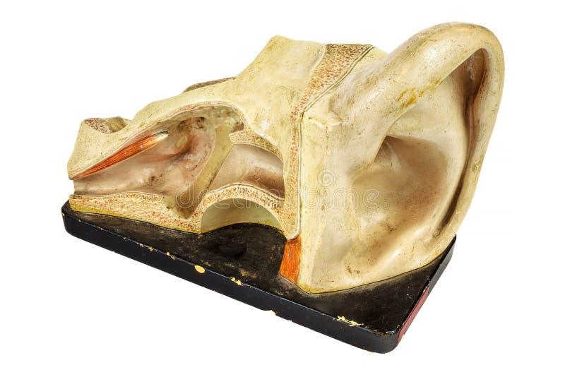 Modelo de la educación del vintage de un oído humano imágenes de archivo libres de regalías