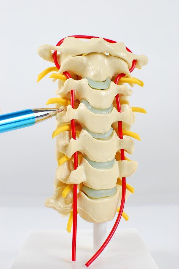 Modelo de la espina dorsal con señalar la pluma imagenes de archivo