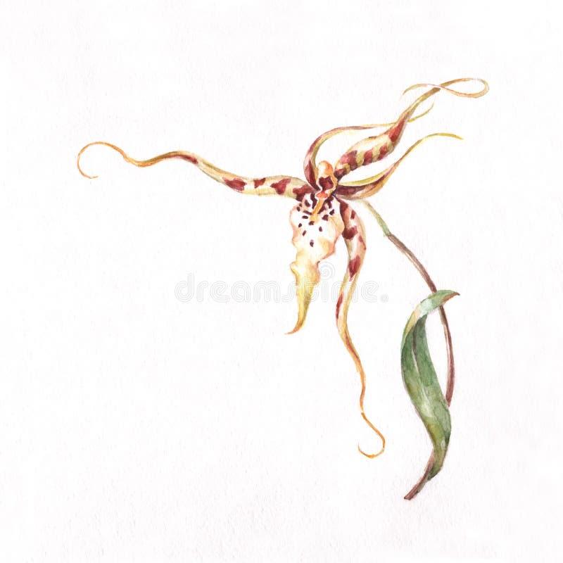 Modelo de la esquina de la orquídea del Brassia stock de ilustración