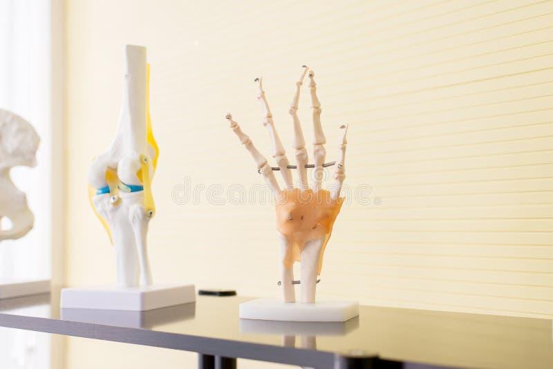 Modelo de la fisiología de la anatomía del plástico de las manos huesos en hospital foto de archivo libre de regalías