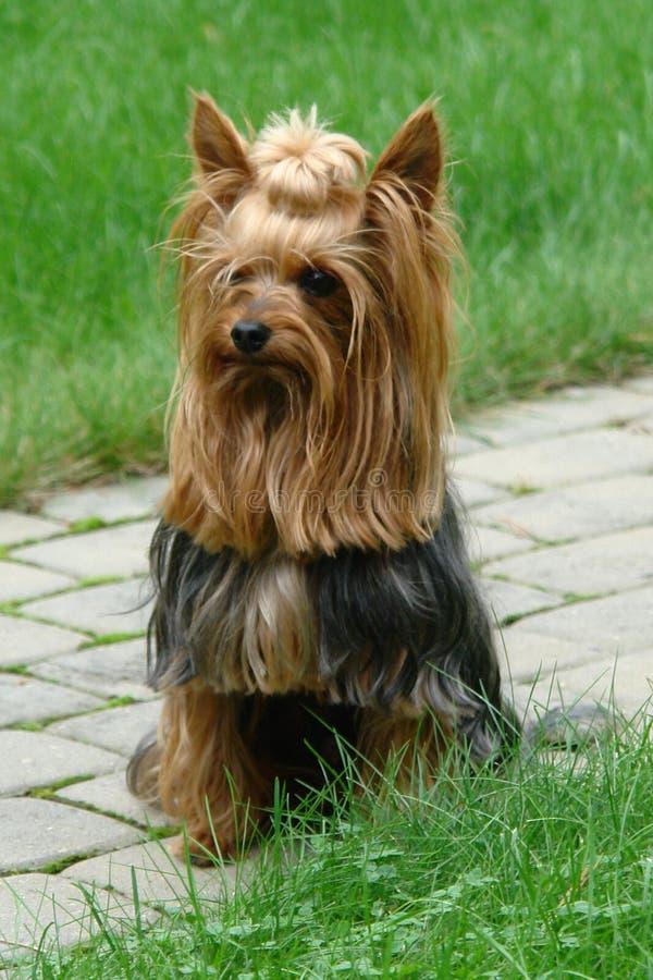 Modelo de la foto - Yorkshire Terrier para un paseo imagenes de archivo