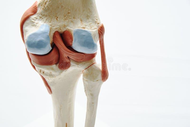 Modelo de la junta de rodilla en oficina médica imagen de archivo libre de regalías