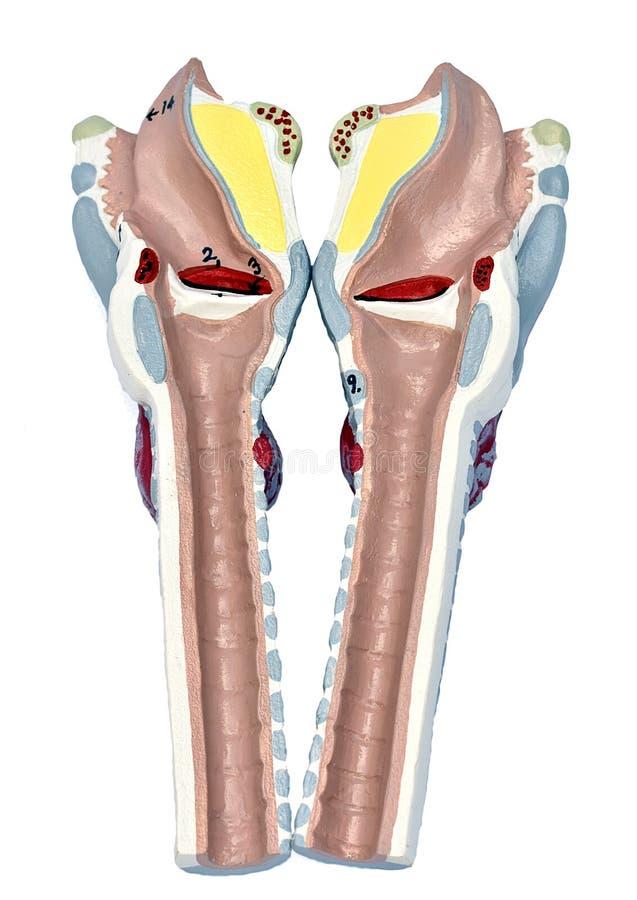 Modelo de la laringe imagen de archivo