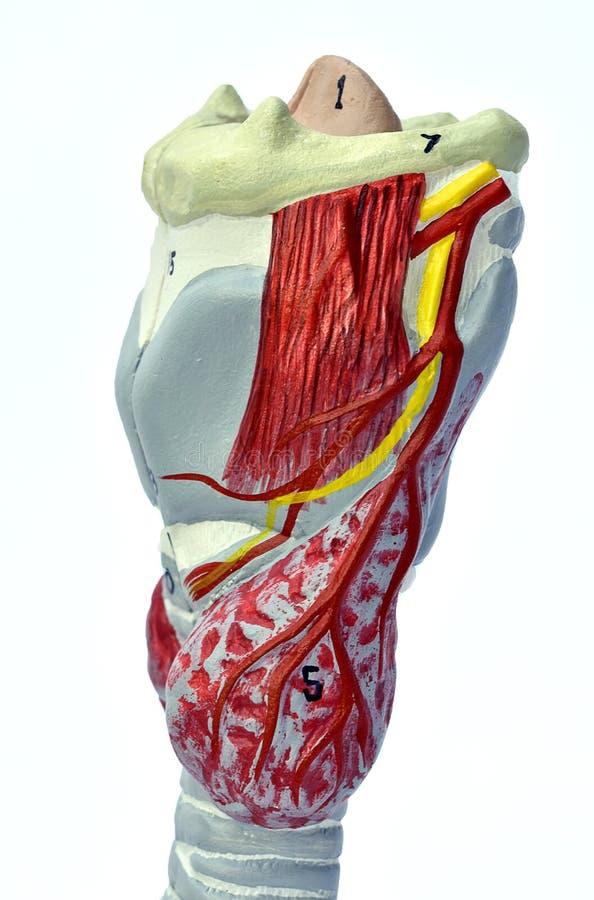 Modelo de la laringe fotos de archivo