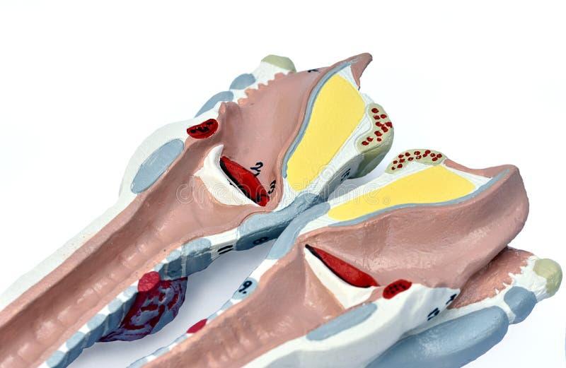 Modelo de la laringe imagenes de archivo