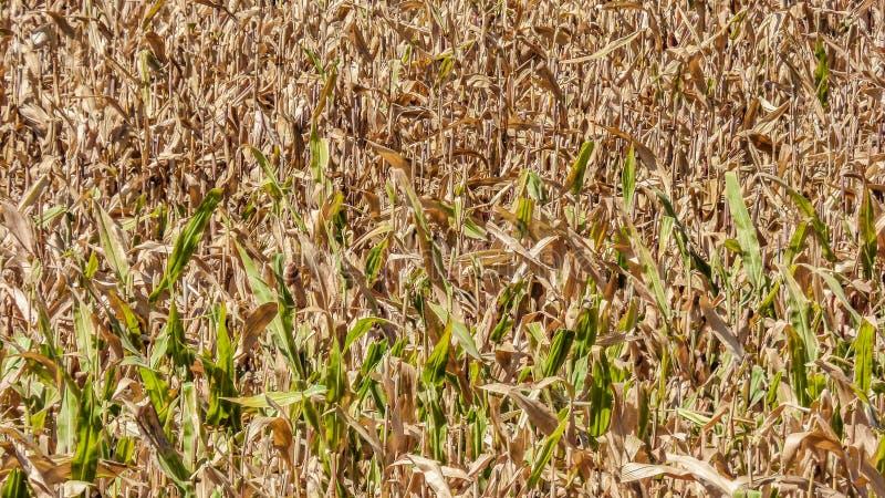 Modelo de la plantación del maíz del fondo fotografía de archivo libre de regalías