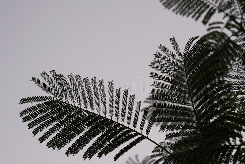 Modelo de la rama de árbol del acacia imagen de archivo libre de regalías